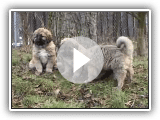 Caucasian Ovcharka, puppies females, FOR SALE!