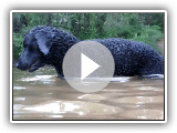 Curly Coated Retriever swimming