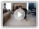 rottweiler playing dead