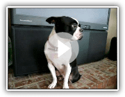 What a thunderstorm does to a Boston terrier in Southern California