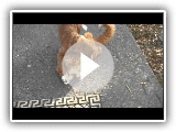 Tabby versus Nova Scotia Duck Tolling Retriever  (Whiskers and Moxie)