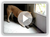 Shiba Inu puppy with the cat
