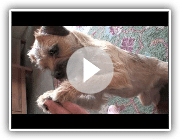 Sara Border Terrier : A day with...