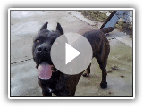 Cane Corso Maximus 2 years old