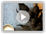 American Water Spaniel Puppies