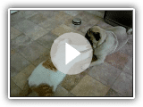 Pug and cat playing Bram vs Billy! playing funny!