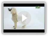 Dogs 101 - Poodle