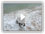 Otto (the German Pinscher) unable to fetch a stick from the sea