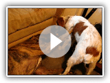 Bull Mastiff Pitbull mix being bossed over by a Brittany Spaniel