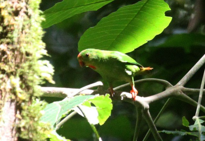 Wallace's Hanging-Parrot