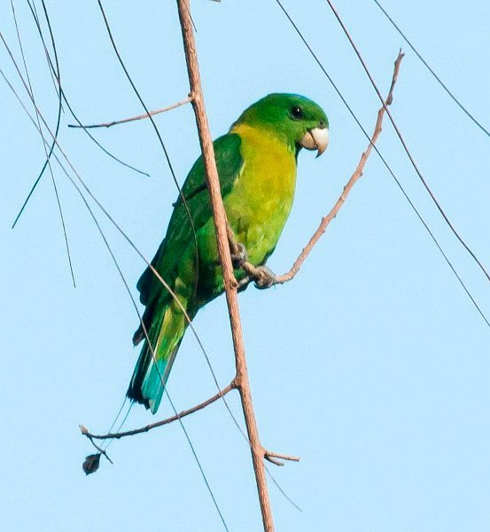 Yellowish-breasted Racquet-tail