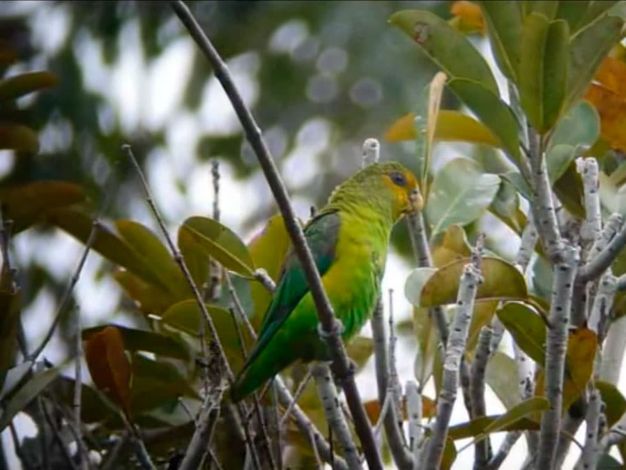 Golden-tailed Parrotlet