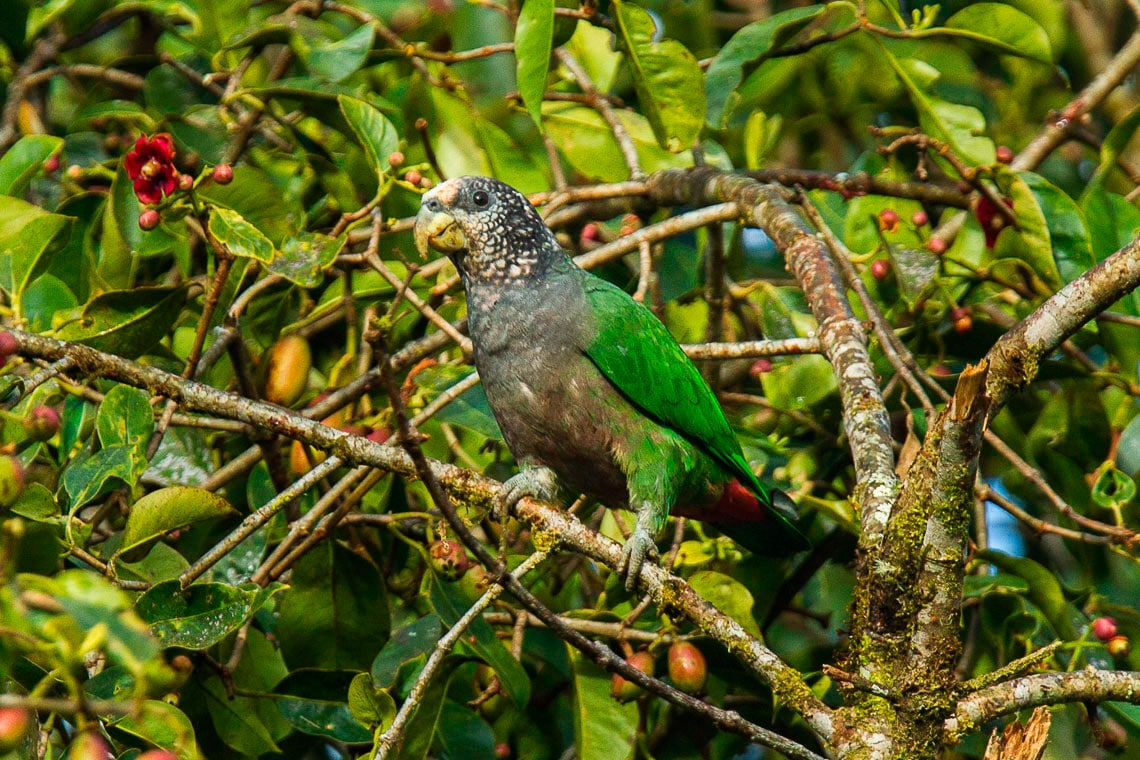 White-capped Parrot
