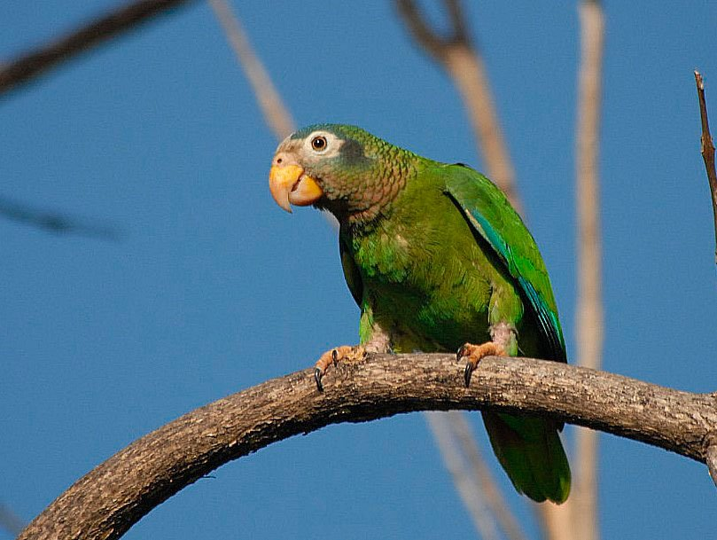 Yellow-billed Parrot