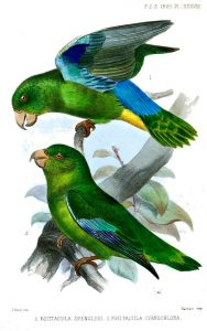 Turquoise-winged Parrotlet