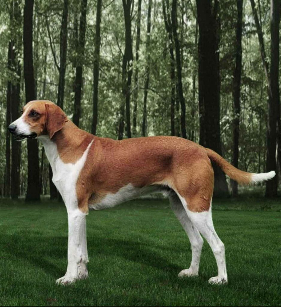 l GREAT HOUND ANGLO-FRENCH WHITE AND ORANGE
