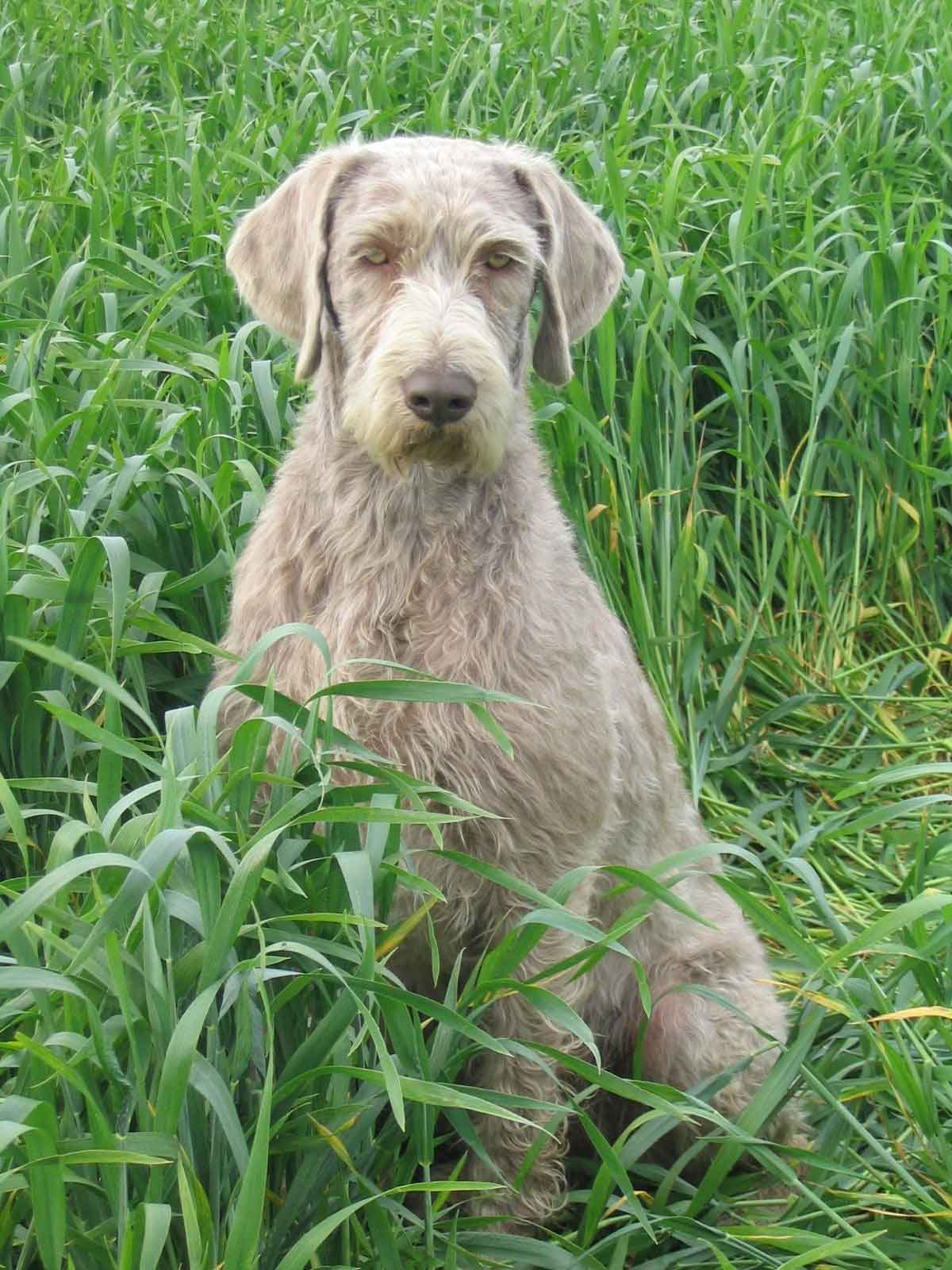 Slovakian Wirehaired Pointers