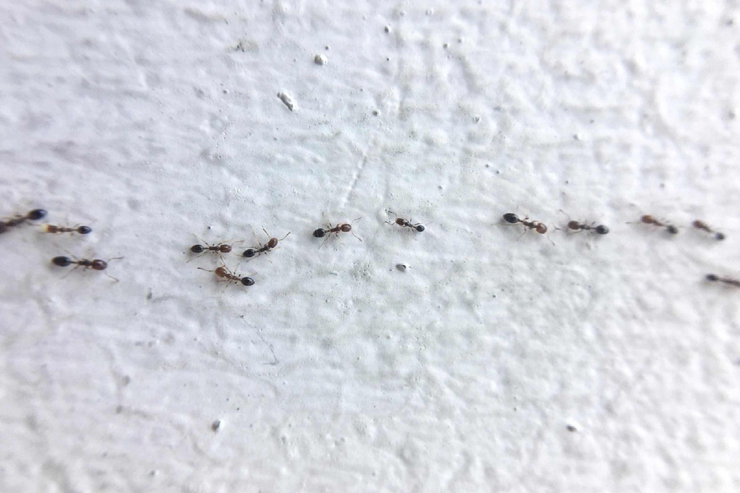 How To Get Rid Of Carpenter Ants In House 3