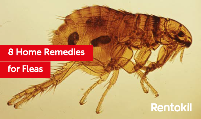 How To Get Fleas Out Of Your House 1