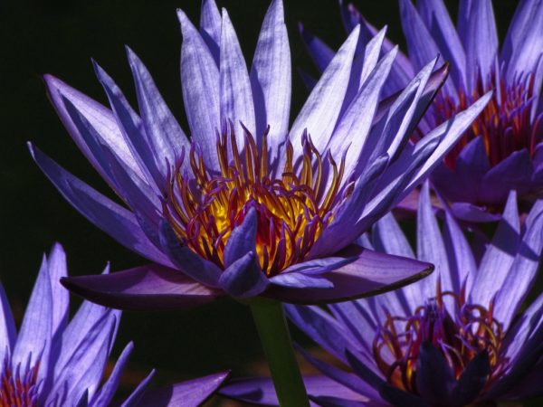 Blue Lotus | the secret life of the blue lotus