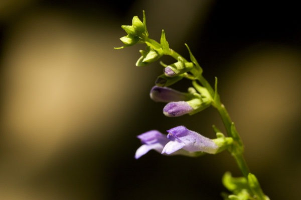 Scutellaria lateriflora with blurry background