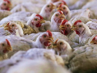 Chicken fight rocks South Africa-Europe trade relations