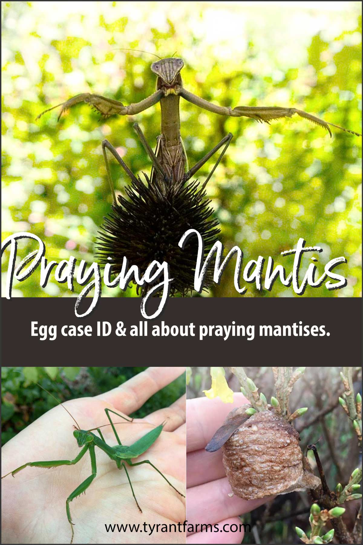 Praying Mantis Egg Case Identification And All About Praying Mantises Tyrant Farms