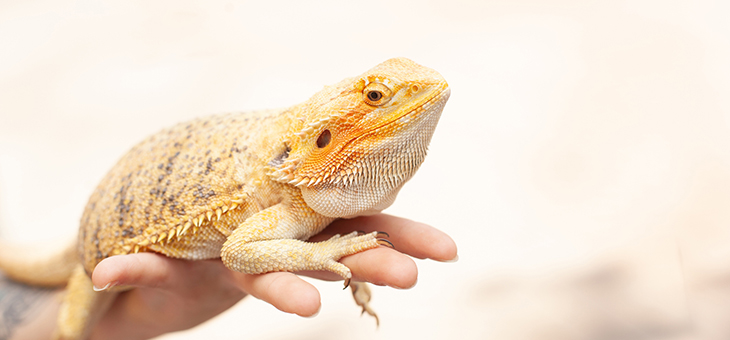 Weird and wonderful facts about bearded dragons