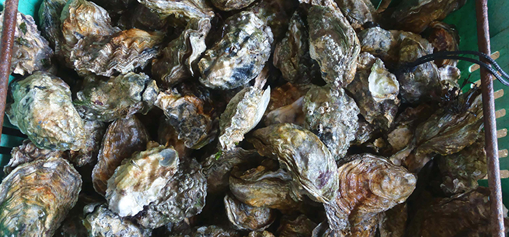 Six interesting facts about oysters