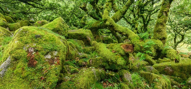 mossy twisted tree trunks in scottish rainforest